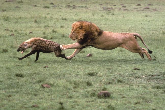 http://michaelfairchild.com/safari/images/Lion-Chases-Hyena.jpg